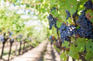 purple-grapes-553462_640